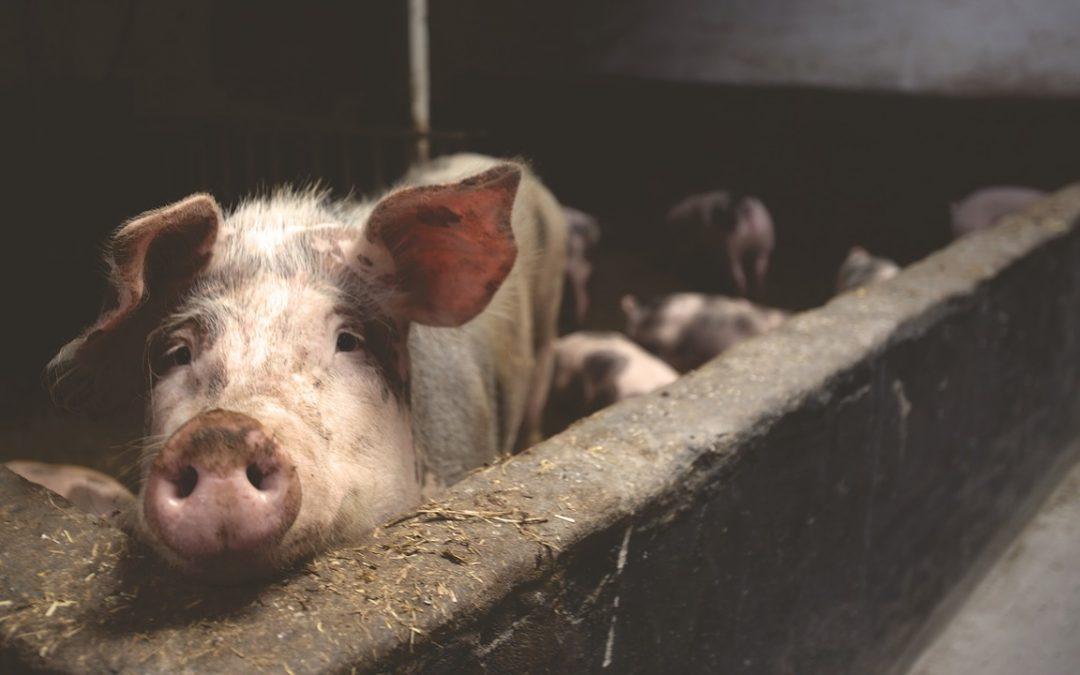 Los proyectos de macrogranjas porcinas y el futuro de Zamora
