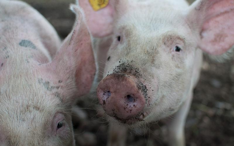 El sector porcino enfrenta varios desafíos y algunas oportunidades