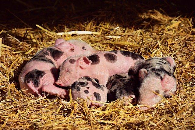 Porcicultura familiar ¿cómo arrancar?