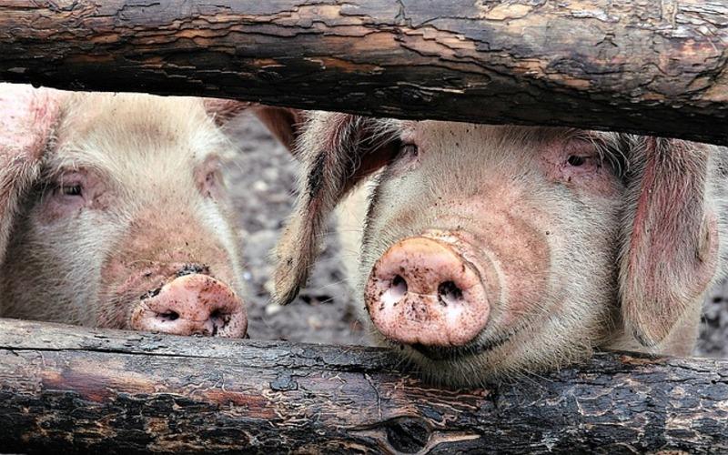Mercado porcino en UE y España
